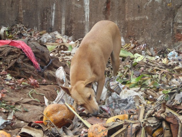 A dog among the thousands of stray dogs in Pondicherry