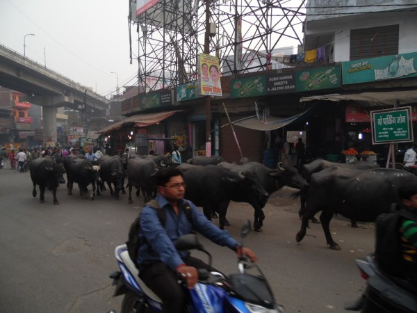 Cows in the street (Gorakhpur)