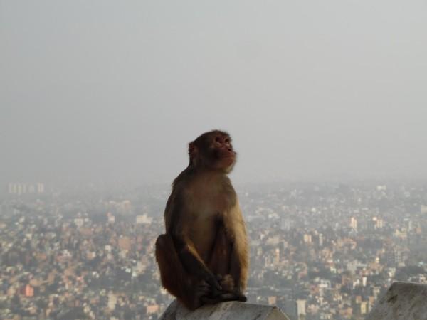 A monkey overhanging Kathmandu city